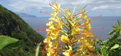 fleur de longose à Flores