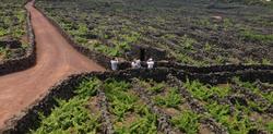 les vignes de Pico classées à l'UNESCO