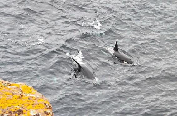 Orcas photo by John Wishart