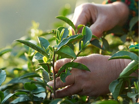 The art of tea picking