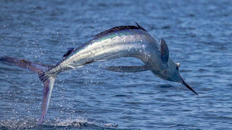Galapagos Islands Striped Marlin April 17-24 (Open Date)