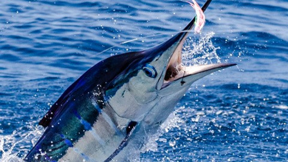 Galapagos Island Striped Marlin Fishing Trip January 29 - February 4 of 2022 (SOLD OUT MICHAEL H. GROUP)