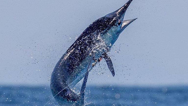 Galapagos Islands Striped Marlin March 13-20  (Open Date)