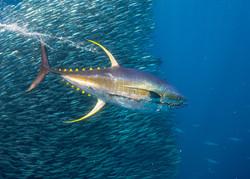 Galapagos Marlin Tuna Fishing