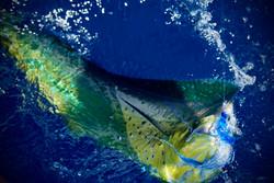 Galapagos Marlin Mahi Mahi Fishing
