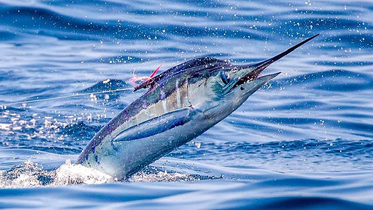 Galapagos Islands Striped Marlin January 23-30 (1 SPOTS - OPEN DATE)