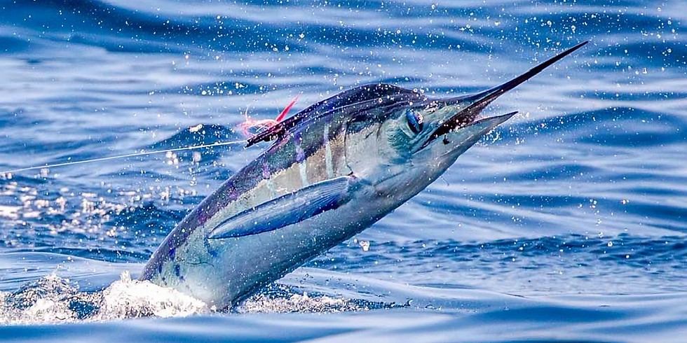 Galapagos Islands Striped Marlin January 23-30 (SOLD OUT SOLO TRIP)