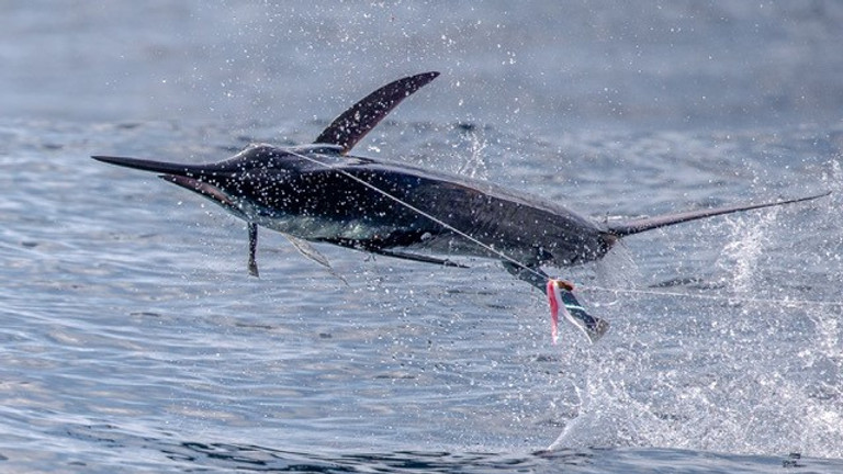 Galapagos Islands Striped Marlin March 1-9 (OPEN DATE)