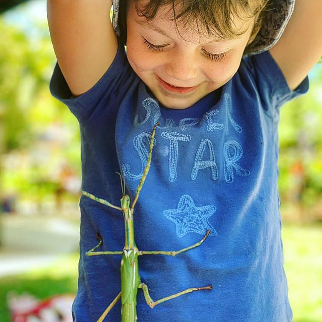 Goliath stick insects just love to climb
