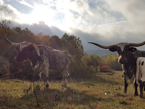 The History of Texas Longhorn Cattle