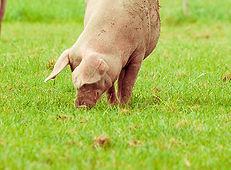 Pigs grazing for Rose City Premium Meats, Warwick's leding retail butcher.