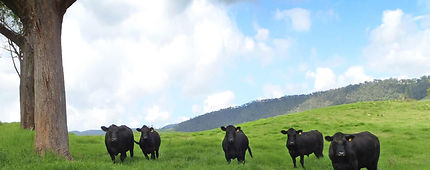Beef grazing for Warwick's leading butcher, Rose City Premium Meats