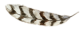 Feather Rustic 1.png