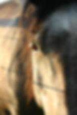 Miller's Equine Shania
