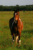 equine wound healing forr Picasso