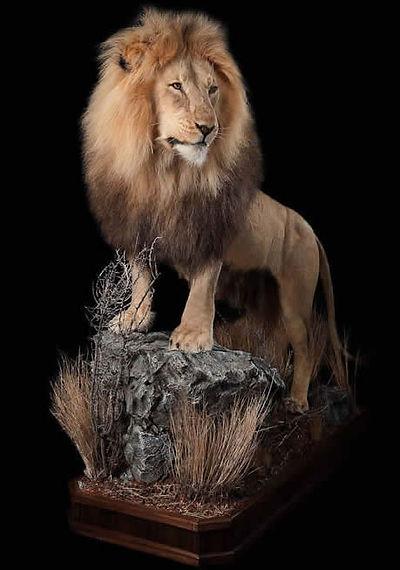 AfricanLion_LS_001.jpg