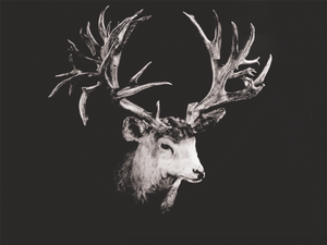 DATE KILLED/FOUND: 11/25/1926 ESTIMATED AGE: ??? LOCATION:  Chip Lake, Alberta, TERRAIN: Pine / Coniferous GROSS SCORE: 361 6/8 Inches NET SCORE: 355 2/8 Inches SCOREABLE POINTS: 43 SPREAD: 22 1/8 Inches (Inside) MASS:  5-Inch Base (Right) / 4 4/8-Inch Base (Left)