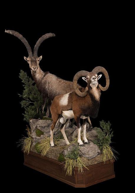 1507138877_lrggredos ibex and mouflon on