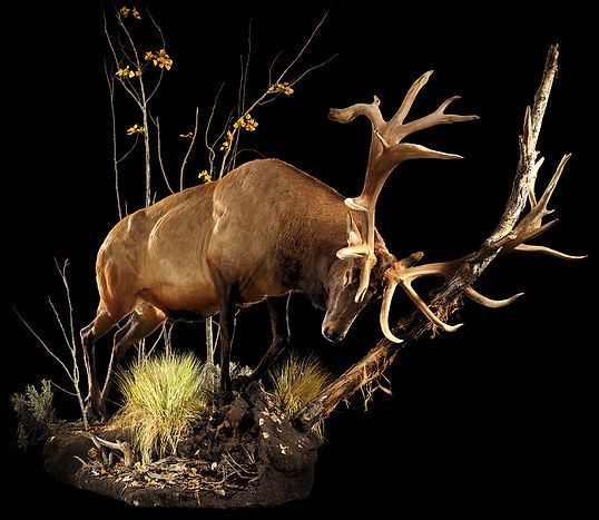 AnimalArtistryReno_Elk_LS02_Full.jpg