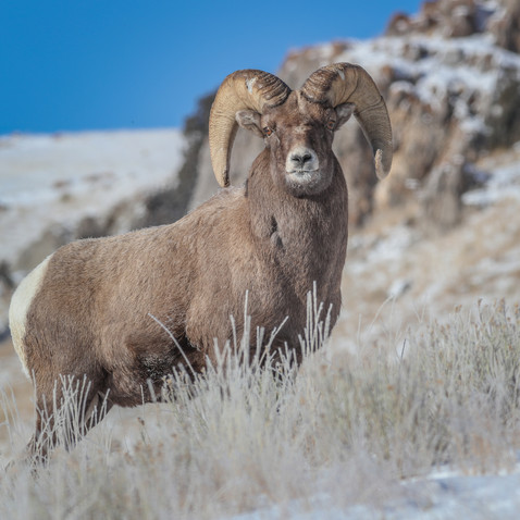 Nebraska Game and Parks Commission approves 2021 bighorn sheep season