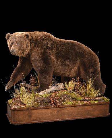 1446574631_lrgBrown Bear on Walnut_Chena