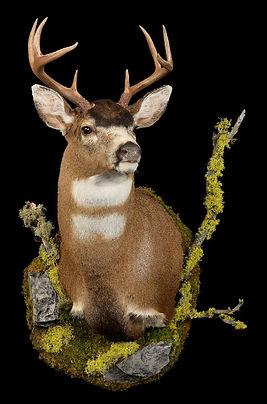 1461264458_lrgSitka Deer WPM with habita