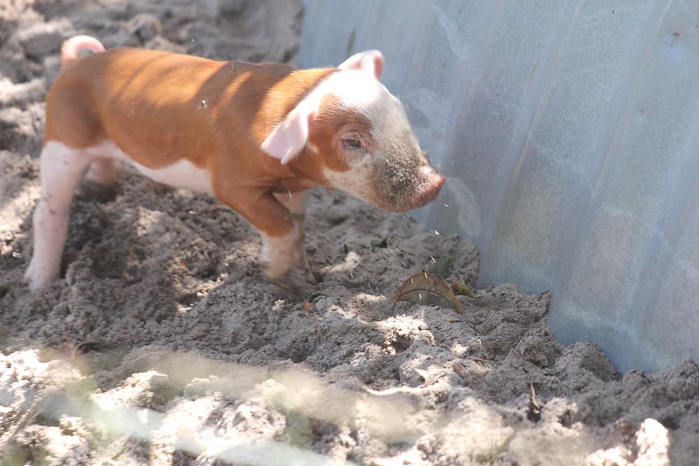 Hereford Piglet