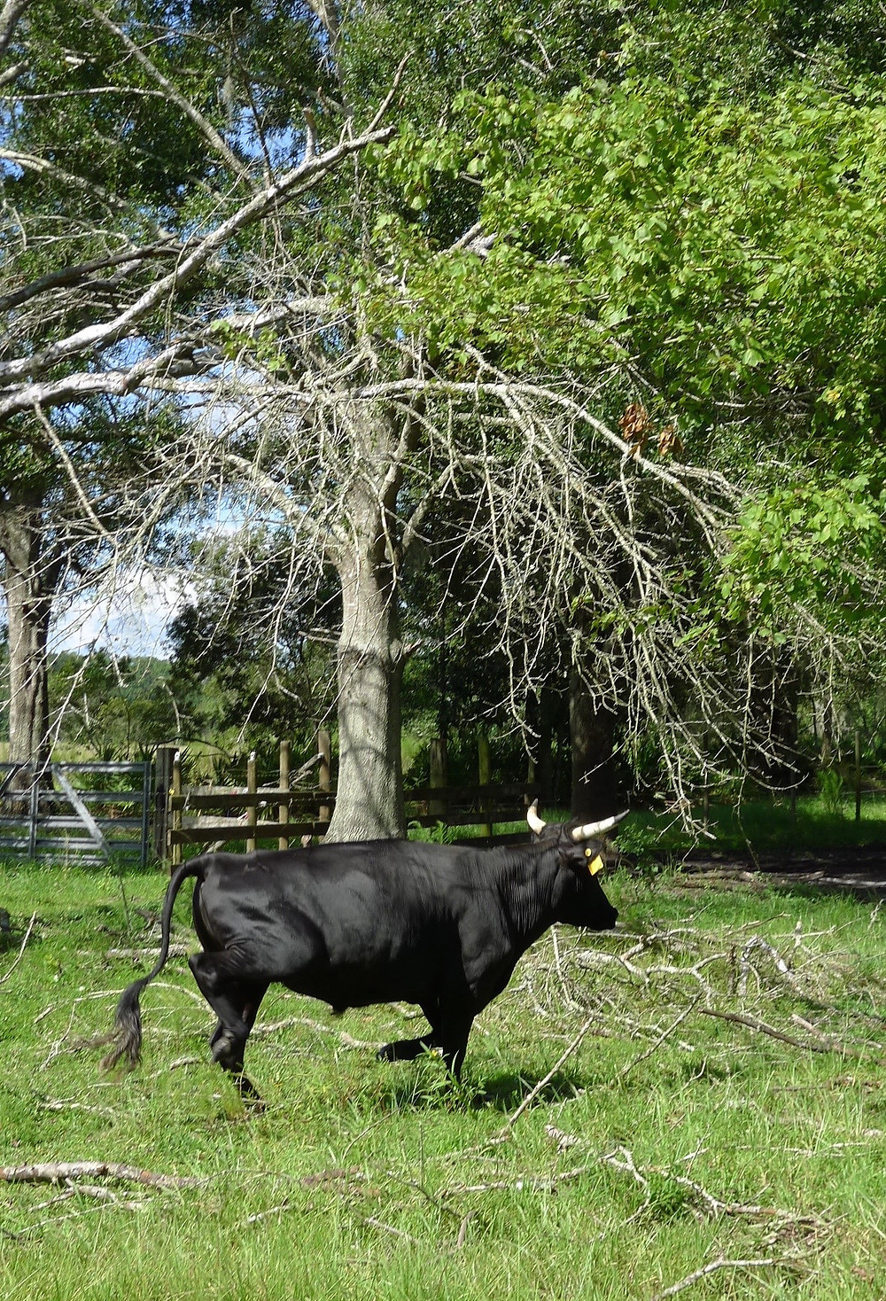 Florida Cracker Cow