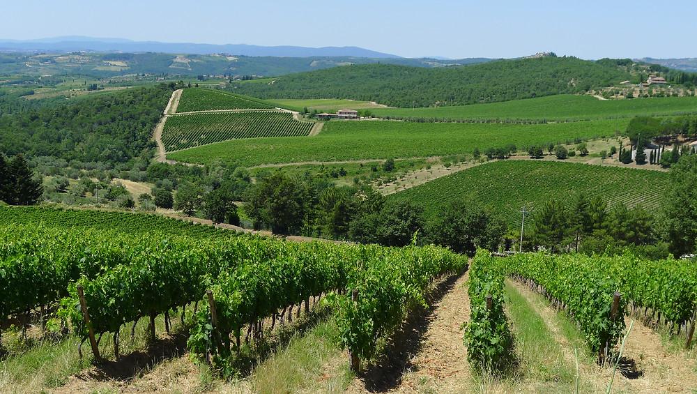 Chianti Vineyards & Olive Trees