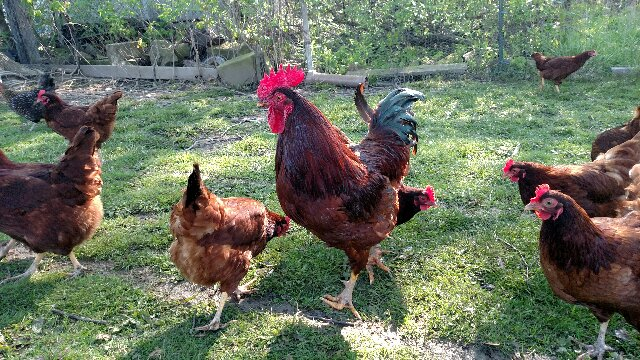 Rhode Island Red Rooster & Co.