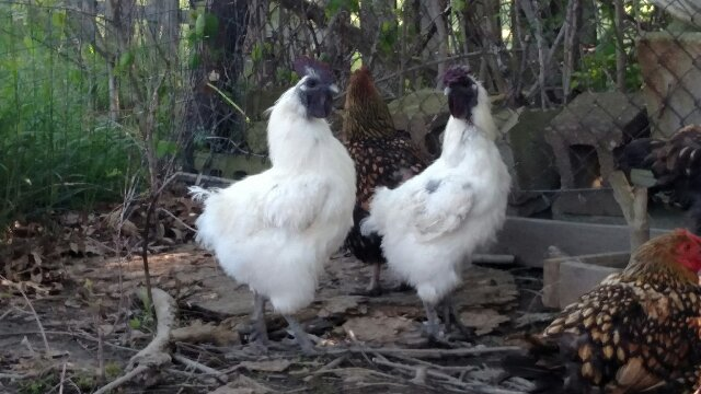 Two Silkie Roosters