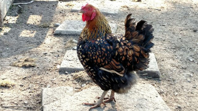 Golden-Laced Wyandotte Hen