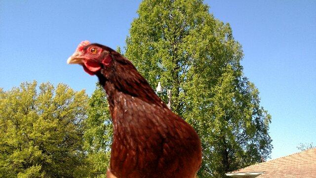Rhode Island Red hen