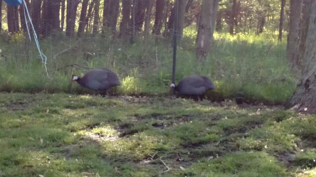 Two Guinea Fowl