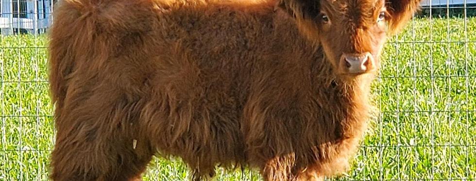 Bull Manure - scoop