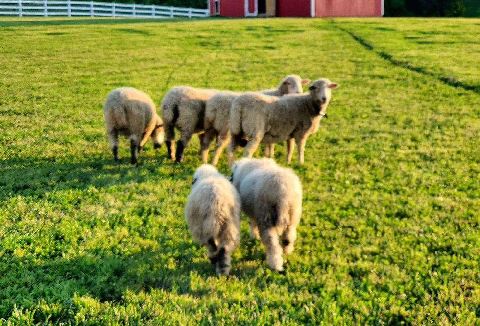 5 x 7 Postcard - Sheep
