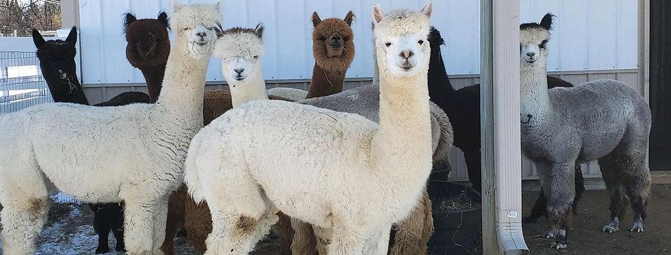 Alpaca Manure - scoop