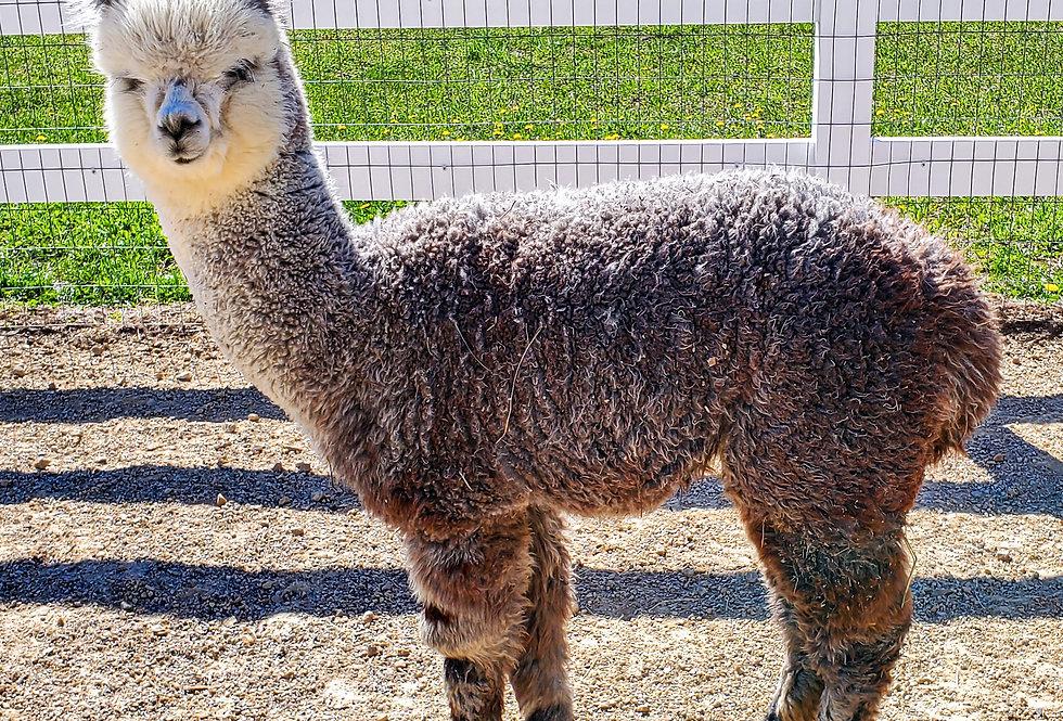 2020 shearing of Luxe - full fleece