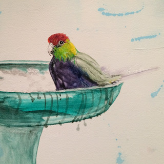 Redcapped parrot at our bird bath - work in progress