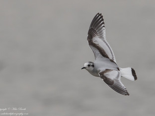 Little Gull added to my Life List !