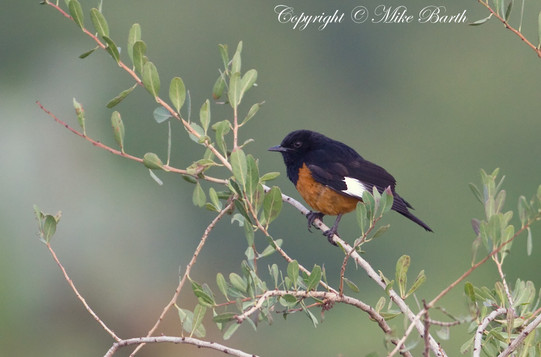White-winged Cliff-chat (Monticola semirufus)