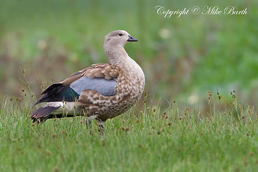 Blue-winged Goose (Cyanochen cyanoptera) and Ethiopian Endemic