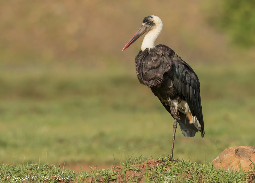 Woolly-necked Stork (Ciconia episcopus)