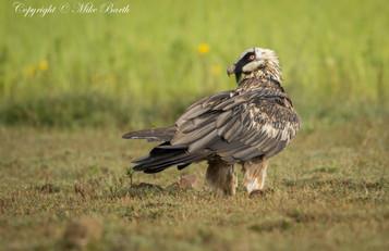 Bearded Vulture (Gypaetus barbatus)