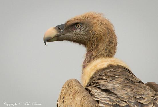 Rüppell's Vulture (Gyps rueppelli)
