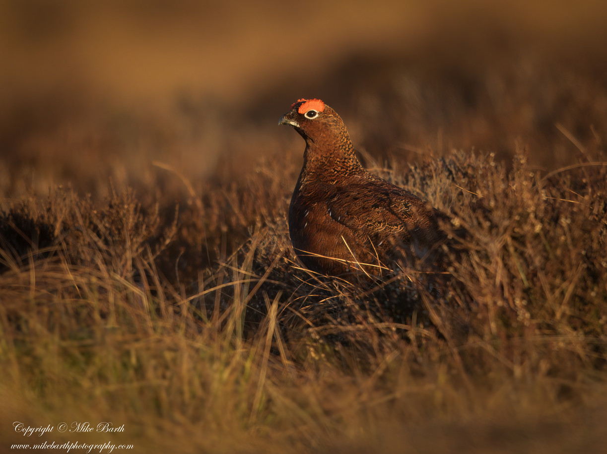 Red Grouse (Lagopus lagopus scotica)