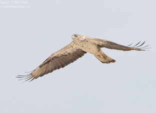 Close encounter with a Bonelli's Eagle !