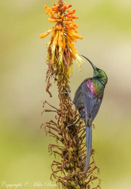 Tacazze Sunbird (Nectarinia tacazze)