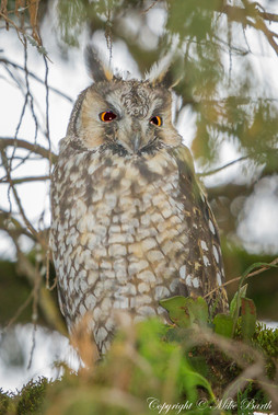 Abyssinian Owl (Asio abyssinicus)