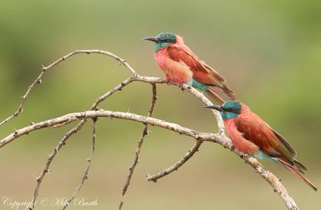 Northern Carmine Bee-eater (Merops nubicus)